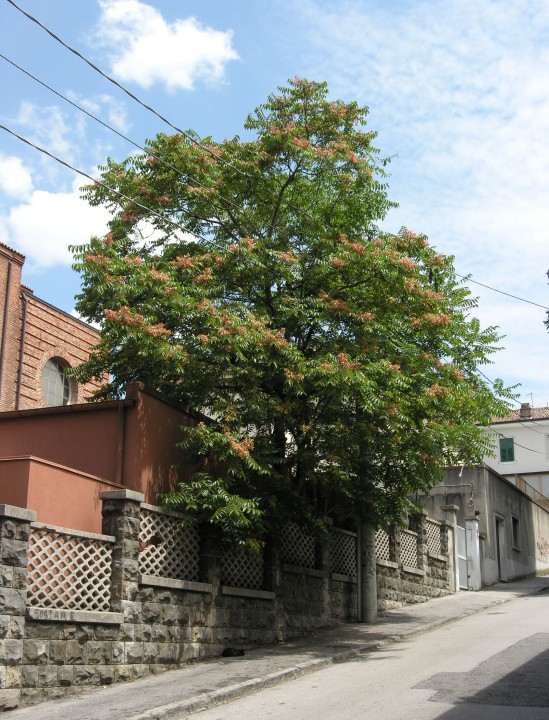 Ailanto, Albero del Paradiso, Sommacco falso (Tree of Heaven)
