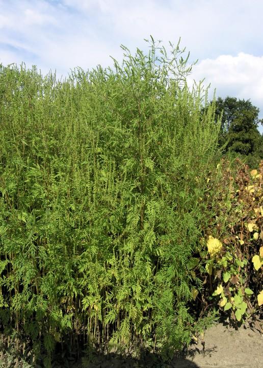 Ambrosia artemisifoglia, Ambrosia comune, Ambrosia con foglie d'Artemisia (Annual ragweed)