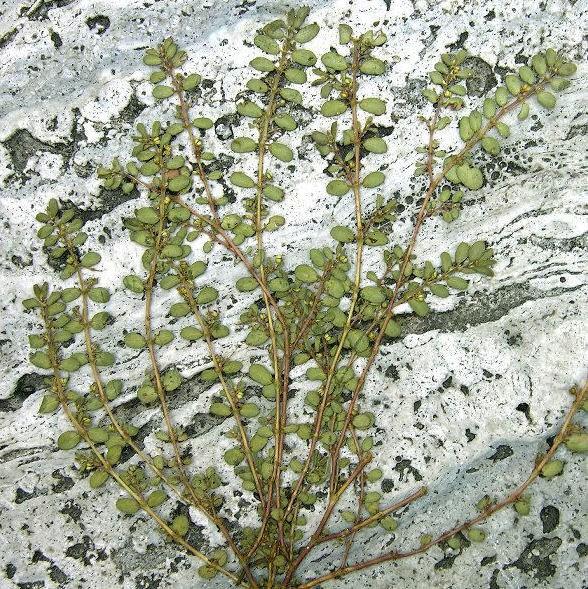 Euforbia prostrata (Prostrate sandmat)