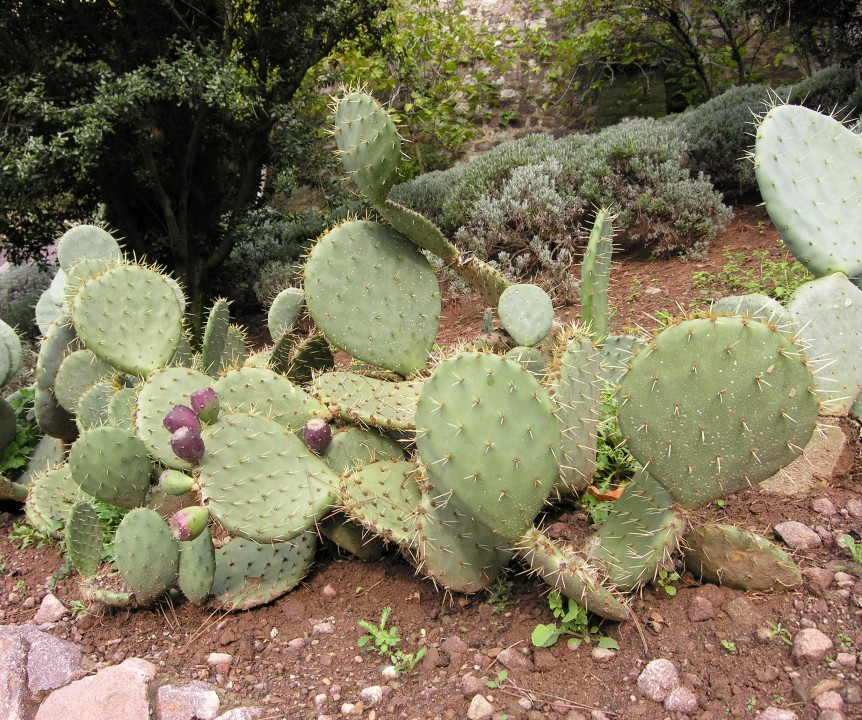 Fico d'India, Pero pungente (Prickly pear)