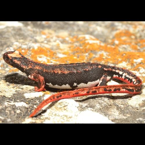 Salamandrina settentrionale, Tarantolina settentrionale, Salamandrina di Savi,  Salamandrina dagli occhiali settentrionale