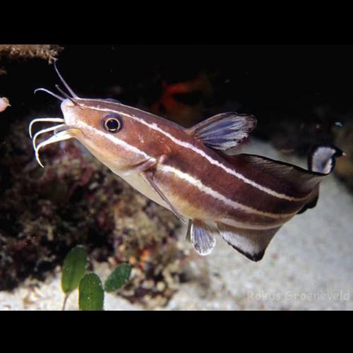 Pesce gatto striato / Pesce gatto dei coralli (Striped eel catfish)