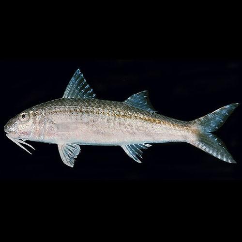 Triglia striata (Por's goatfish)