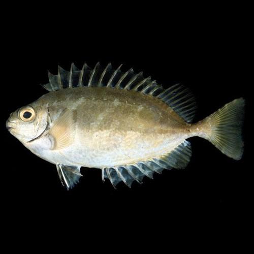 Pesce coniglio (Dusky spinefoot)