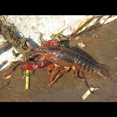 Gambero rosso della Louisiana, Gambero killer