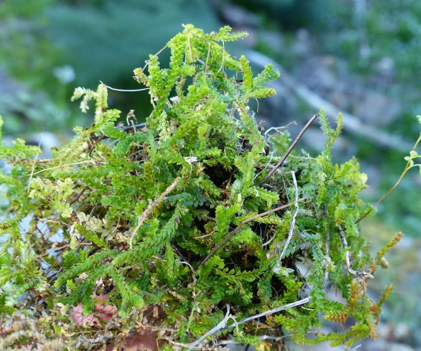 Selaginella denticolata (Mediterannean clubmoss)