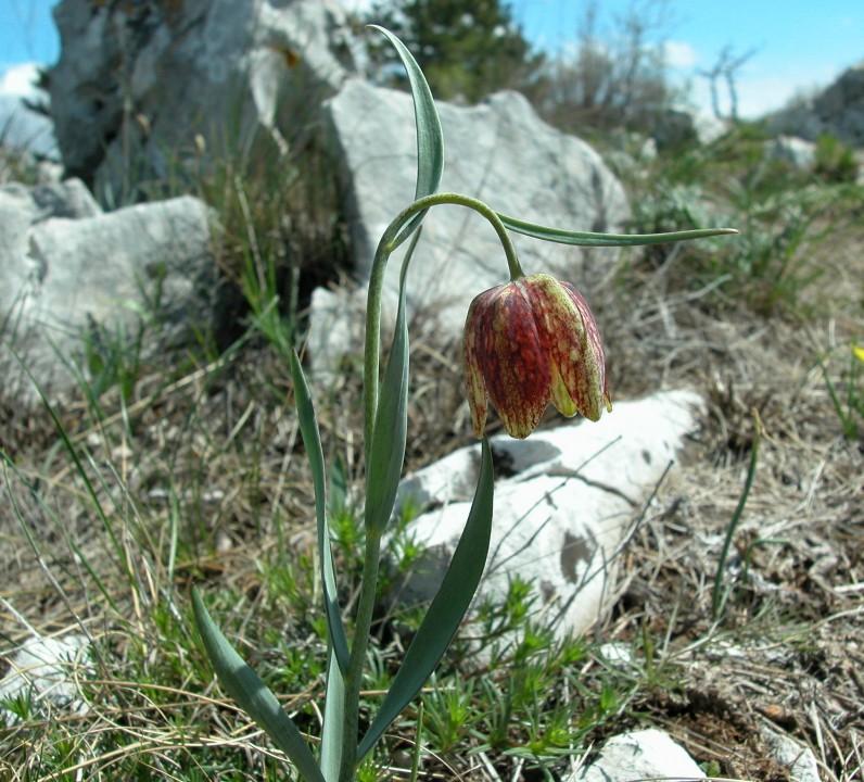 Meleagride montana, Fritillaria montana, Fritillaria