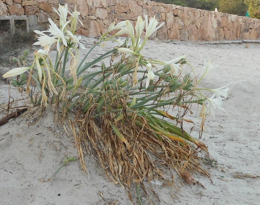 Narciso marino, Giglio marino comune, Pancrazio marino (Sea daffodil)