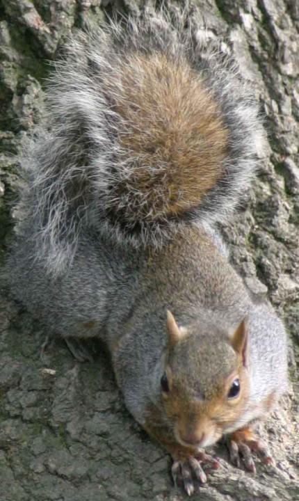 scoiattolo grigio