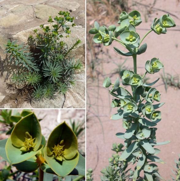 Euphorbia paralias L.