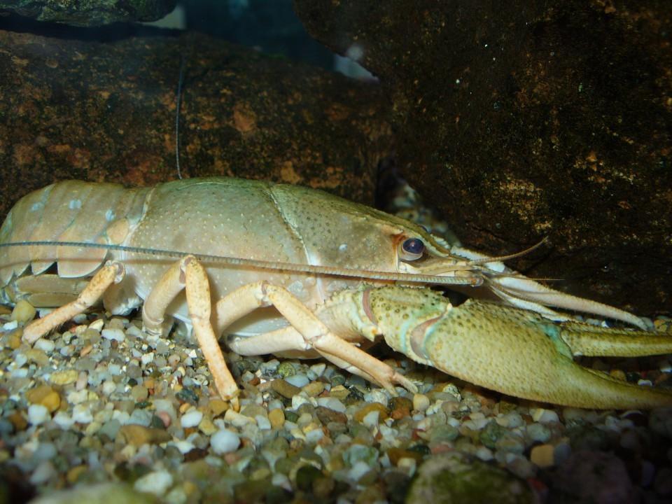 Astacus leptodactylus (Eschscholtz, 1823)
