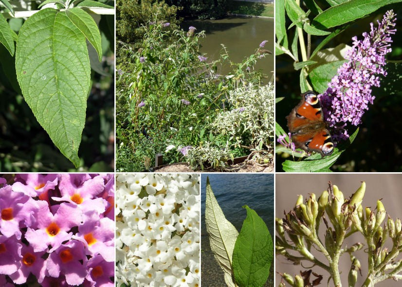 Albero delle farfalle a foglie opposte, Buddleja