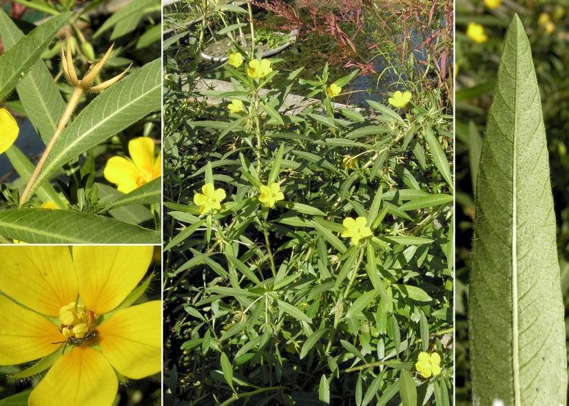 Ludwigia a fiori grandi