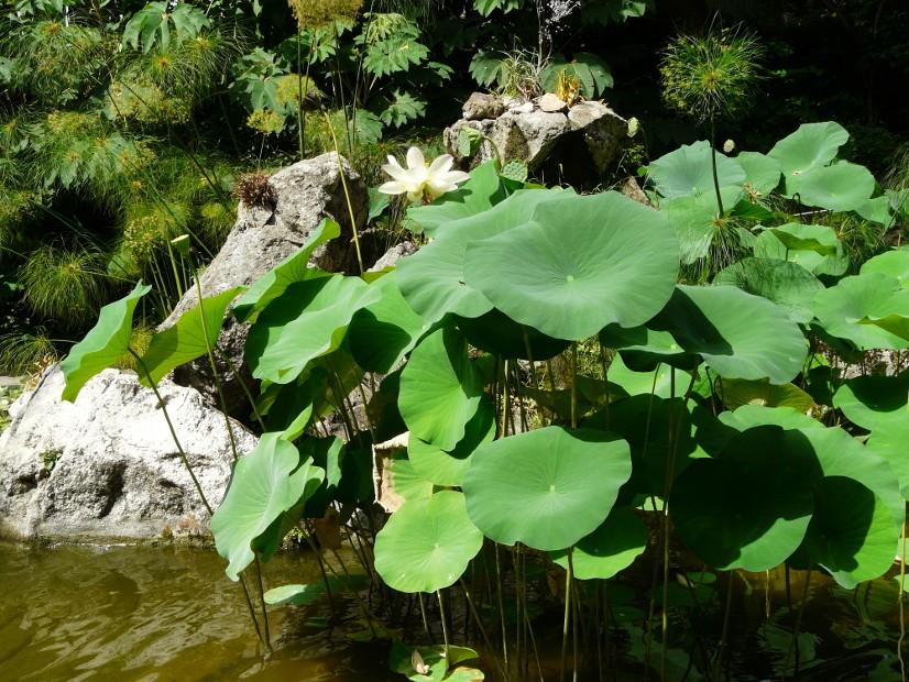Fior di loto asiatico, Nelumbo nucifero